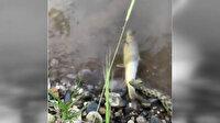 Yılanın balık avı ilginç görüntüler oluşturdu