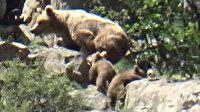 Yavrularıyla oynayan boz ayı böyle görüntülendi