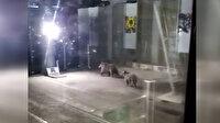 Aç kalan ayılar teleferiğe indi