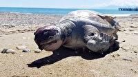 Belek'te 11 deniz kaplumbağası ölü bulundu