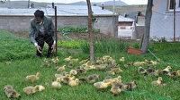 Kaz çiftliği kurdu: Siparişlere yetişemiyor