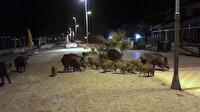 Görenler şoke oldu: Domuz sürüsü turistik sahili turladı