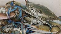 Balıkçıların korkulu rüyasıydı, ihracat ürünü oldu