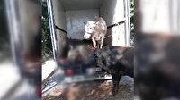 İstanbul'da kapalı kasa kamyonla taşınan 4 hayvan havasız kalarak öldü