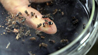 Doğal düşman komando böcekler ormanları koruyacak