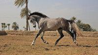 Libya'da Hafter güçleri safkan at çiftliğini de yağmaladı