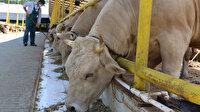 Kurbanlık hayvanların İstanbul'a girişi belli oldu:  16 Temmuz itibarıyla başlayacak