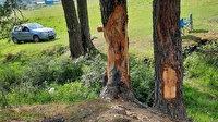 Bartın'da tepki çeken olay: Çıra için çam ağaçlarını yonttular