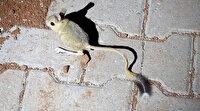 Dünyanın en ilginç 19 hayvanından biri: Kanguru faresi Adıyaman'da görüldü