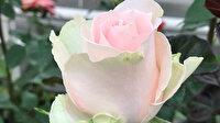 Türkiye'nin ilk yerli gülü üretildi: İlk alıcısı kesme güllerde dünyanın en iyisi Hollanda oldu