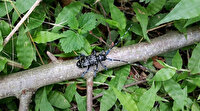 Fındıkçıların başı bu böcekle dertte: Anavatanı Uzakdoğu olan 'Drakula' fındık ağaçlarını kurutuyor