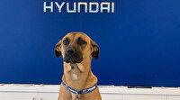 Başıboş köpek Hyundai bayisinde işe başladı: Ekibin en gözde personeli oldu