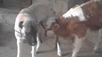 Annesi ölen danayı kangal köpeği emziriyor