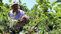 Emekli madenci, meyve üretti gelirini ikiye katladı: Talebe yetişemiyor
