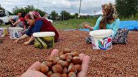 Uzmanlar uyarıyor: Fındıkta 'aflatoksin' tehlikesi