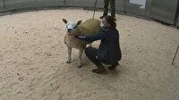 İskoçya'da dünyanın en pahalı koyunu rekor fiyata satıldı: Görenler hayrete düştü