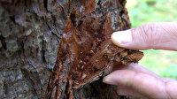 Dev kabuk böceğine karşı biyolojik mücadele: Terminatör Böcek