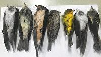 ABD'deki yangınlar onları da vurdu: Gökten ölü kuş yağdı