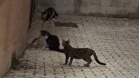 Dört kediye kafa tutan cesur fare kamerada