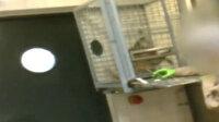 Belçika'da denek maymunlara işkence görüntülerine tepki yağdı