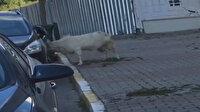 Çekmeköy'de keçi park halindeki araca boynuz darbeleriyle zarar verdi