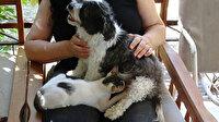 Görenler şaşkınlığını gizleyemiyor: Yavru kedileri emzirerekannelik yapıyor