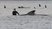 Zamana karşı kurtarma yarışı: Avustralya'da sığ sularda mahsur kalan 470 balinadan 70'i kurtarıldı
