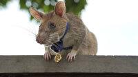 Kamboçya'da mayın bularak onlarca hayat kurtaran sıçan Magawa altın madalyaya layık görüldü