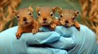 Anneleri ölen sincap yavrularına özenli bakım