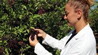 İyi gelmediği hastalık yok: Mürver meyvesi Tokat'ta yetiştirilecek