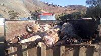 Tunceli'de bir ahıra giren ayılar hayvanların yarısını boğarak yarısını pençeyle öldürdü