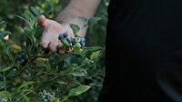 Kilogramı 40-50 lira: Mavi yemiş Ordulu üreticileri sevindirdi