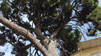 İngilizler topla yıkamadı: 700 yaşındaki ağaç hala ayakta