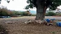 Çanakkale'de ağaç altına sığınan koyunlar yıldırım düşmesi sonucu telef oldu