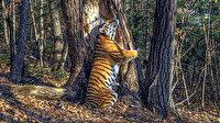 Tek bir kare için 11 ay bekledi: Ağaca sarılan kaplan fotoğrafıyla 49 bin aday arasında birinci oldu