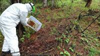 Kastamonu'da terminatör böcekler iş başında: 34 bin böcek ormana bırakıldı