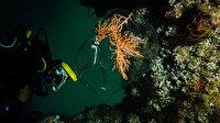 Marmara Denizi'nde büyük mercan ekimi: Organ nakli gibi