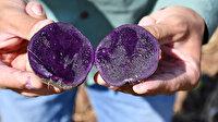 Yerli mor patates hasadı başladı: Faydaları saymakla bitmiyor