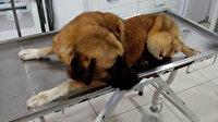 Silahla vurulan sokak köpeğinin bacağı kesildi: Mahalleli isyan etti