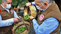 Türkiye'nin en yaşlı anıt zeytin ağacı hasat verdi: 150 kilo zeytinden, yaklaşık 25 kilo yağ