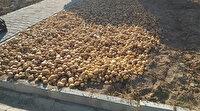 Okulun deposundaki patatesleri ekti: 1,5 ton hasat elde etti