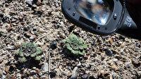 Salda Gölü'ne özgü iki sığırkuyruğu türü bitkisi koruma altına alındı