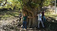 Artvin'de tespit edildi: Dünyanın en yaşlı armut ağacı olabilir