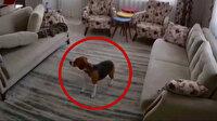 Depreme evde yalnız yakalanan köpeğin yaşadığı panik kamerada