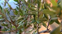 Uzun yaşamın sırrı zeytin yaprağının faydaları saymakla bitmiyor