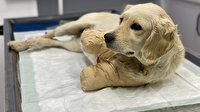 Patileri kesilen yavru köpekten güzel haber: Hayati tehlikeyi atlattı