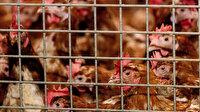 Hollanda'da kuş gribi alarmı: İnsanlara bulaşma riski var