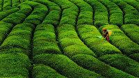 Ruhsatlı yaş çay üreticilerine bu yılın ürünü için 13 kuruş fark ödemesi yapılacak