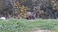 Bursa'da ormalık alanda yiyecek bulamayan yaban domuzları şehre indi