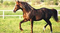 Safkan Arap atında dünya birincisiyiz